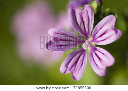 Mallow Flowers, Malva Sylvestris
