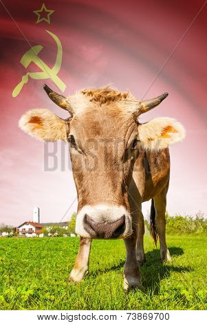Cow With Flag On Background Series - Union Of Soviet Socialist Republics
