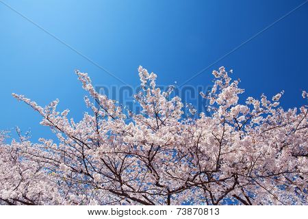 Cherry blossoms in full bloom, under a clean magnificent blue sky.