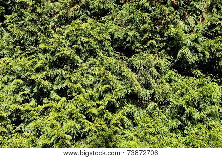 Thuja Branches Background