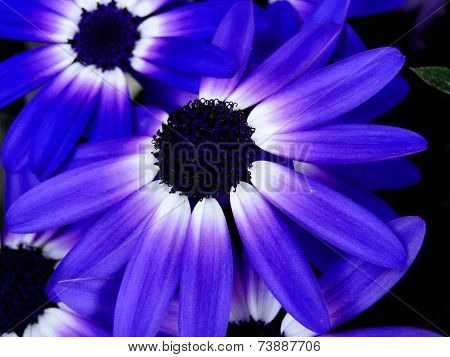 Bi-Colored Senetti Daisy