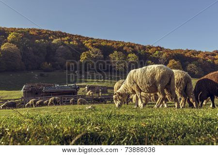 Sheepfold And Grazing Sheep Flock