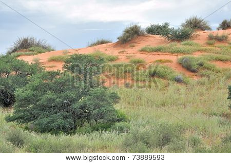 Kgalagadi Dune Landscape