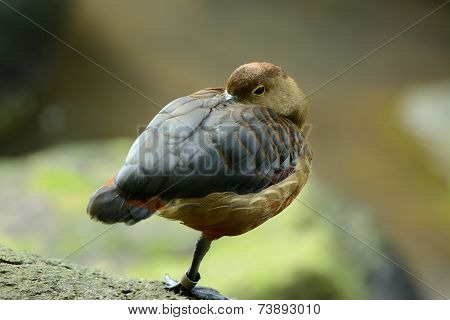 Lesser Whistling-duck (dendrocygna Javanica)