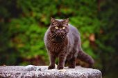 image of portrait british shorthair cat  - beautiful brown british shorthair cat outdoors portrait - JPG