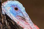pic of wild turkey  - Closeup head of male wild turkey or Meleagris gallopavo - JPG