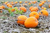 foto of thanksgiving  - Pumkin patch field with different typ of huge pumpkins for halloween or thanksgiving holiday - JPG