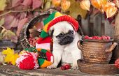 image of gnome  - pug puppy in gnome hat - JPG