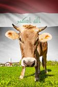 foto of iraq  - Cow with flag on background series  - JPG