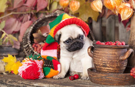 picture of gnome  - pug puppy in gnome hat - JPG