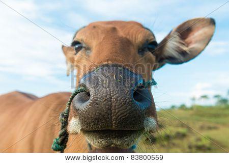 Cute cow closeup