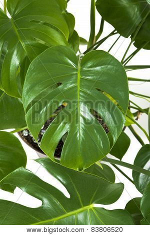The green philodendron