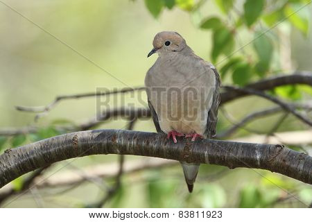 Mourning Dove Perched On A Tree Branch