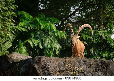 One Male Goat Animal With Big Horns