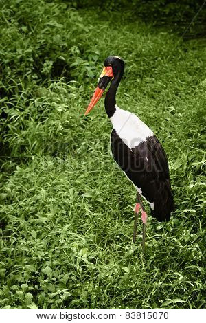 One Saddle-billed Stork In Green Grass