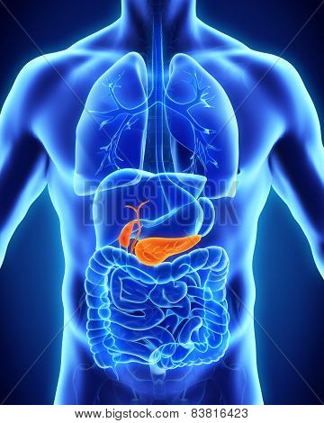 Human Gallbladder and Pancreas Anatomy
