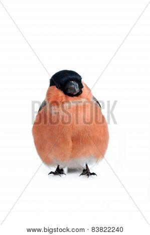 Eurasian Bullfinch