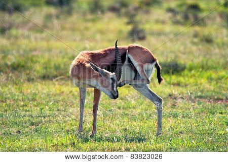 Wild Thompson's Gazelle
