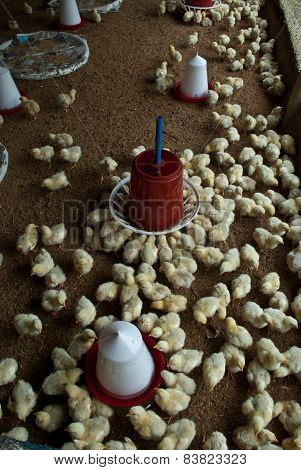 Poultry chicken firm