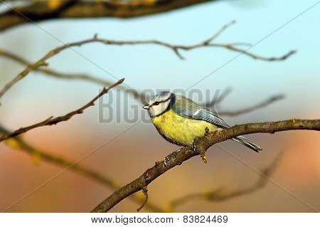 Blue Tit Up In The Tree