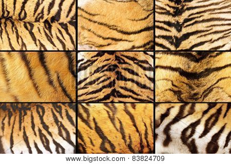 Collection Of Tiger Fur Closeups