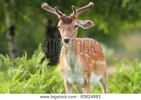 Fallow Deer Buck In The Forest
