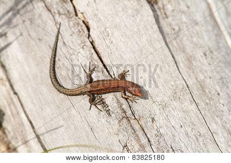 Juvenile Viviparous Lizard