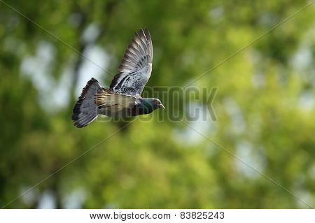 Pigeon In Flight Over Out Of Focus Forest