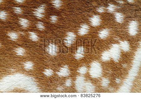 Texture Of Fallow Deer Fur