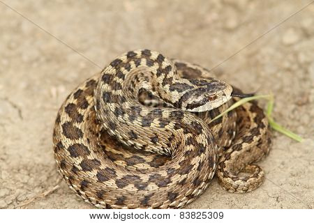 Vipera Ursinii Standing On The Ground