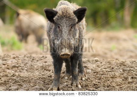 Wild Boar Looking To The Camera