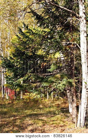 Fur-tree In A Grove