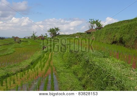 Bali Rice Terraces With Farmer Huts