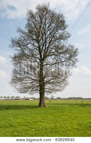 Large Budding Tree In The Spring Season