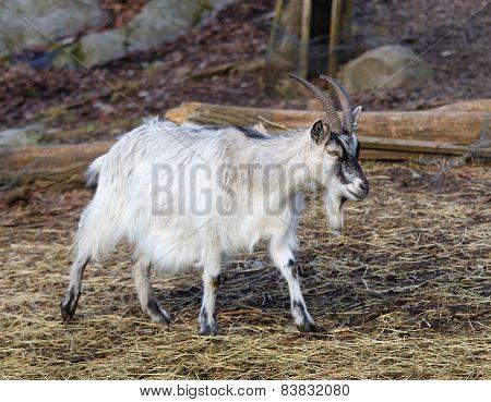White Goat Walking