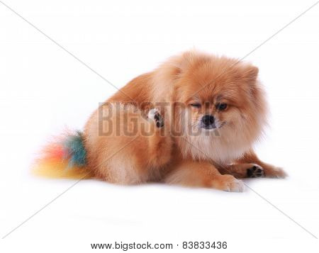 Brown Pomeranian Dog Scratching Isolated On White Background, Cute Pet In Home
