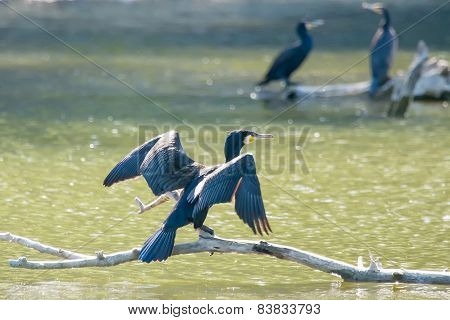Cormorants On Tree Branches