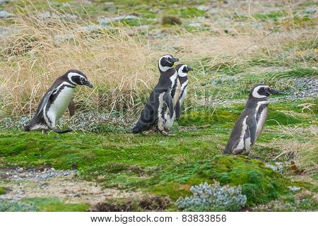 Four Penguins On Field