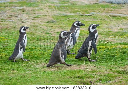 Four Penguins Walking