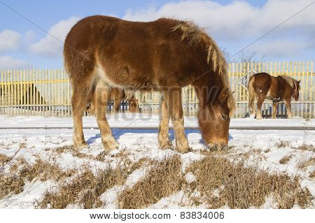 Young foal brown color feed from -under snow