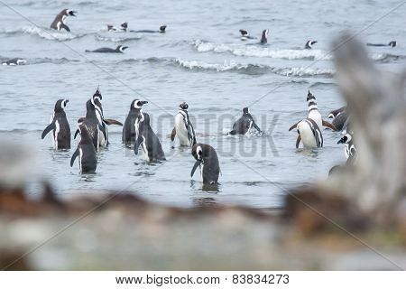 Large Group Of Penguins On Shore