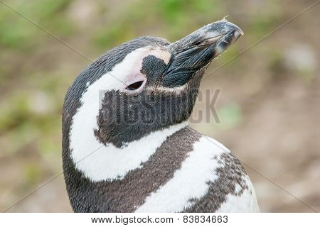 Penguin Lifting Head Upwards