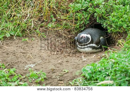 Penguin Lying In Burrow