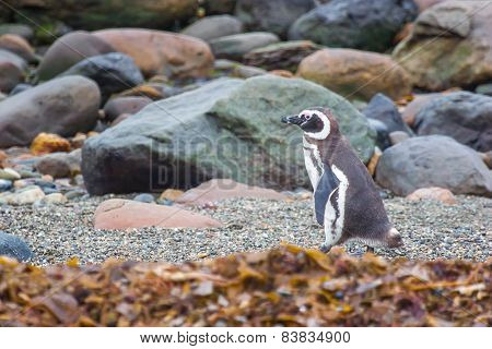 Penguin On Rocky Shore