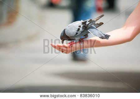 Pigeon Eating Out Of Palm