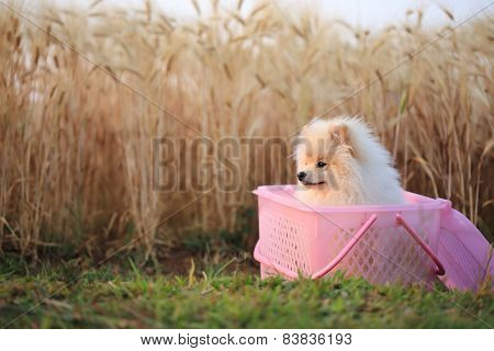 Pomeranian Puppy Dog In Basket Picnic