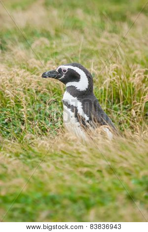 Side View Of Penguin In Grass