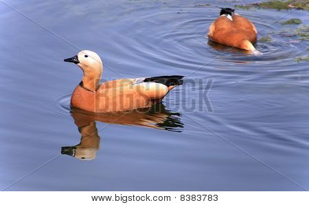 Two Roody Shelduck On Water
