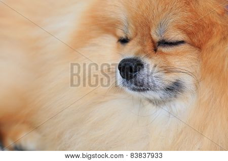 Brown Pomeranian Dog Sleeping In Home