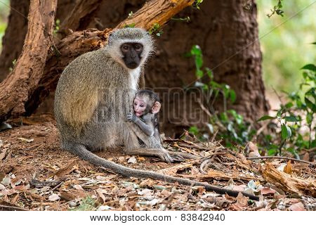 Vervet Monkey Surpise
